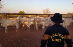 Ação entre delegacias de Paranaíta e Alta Floresta recupera 32 cabeças de gado