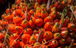 Nova parceria vai mapear Sistemas Agroflorestais e cultivos perenes na Amazônia