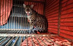 Alta Floresta: Jaguatirica é resgatada por Corpo de Bombeiros após ser capturada em propriedade rural