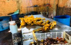 Polícia Civil e fiscais sanitários flagram abatedouro clandestino de aves em Várzea Grande