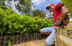 Famílias de Nova Bandeirantes recebem mudas de café mais produtivo e de fácil manejo