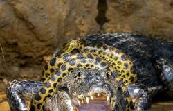 Fotógrafo americano flagra sucuri lutando contra jacaré no Pantanal em MT